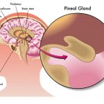 The Pineal Gland and How It Affects You Daily